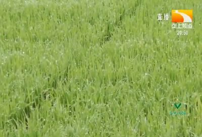 水稻直播注意事项
