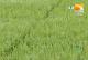5月春夏之交,在田作物谨防病虫害