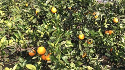 四季有鲜橙 春橙正采收