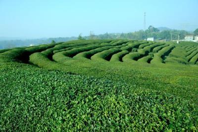 宜都春茶销售线上线下齐发力