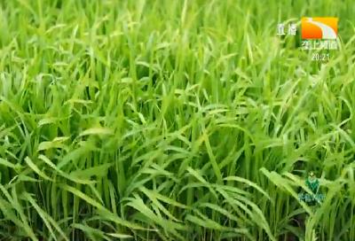 双季稻全程机械化绿色高效吨粮模式