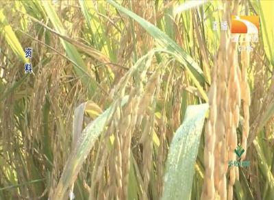 水稻恶苗病的症状、传播途径、病因及防治措施