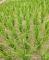 近日早稻仍需防冷害