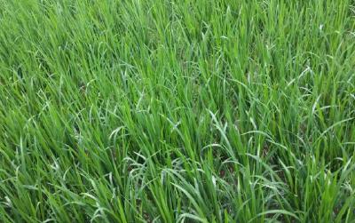 水稻烂秧该如何处理?水稻烂秧防治措施