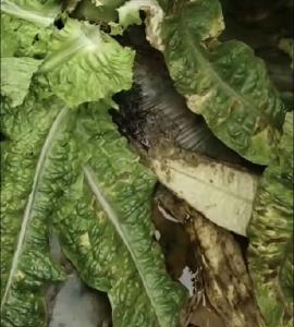 春播蔬菜死苗原因及防治技术