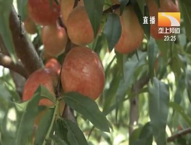 桃树种植如何做好夏季修剪?