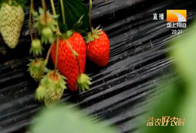 韩国草莓出口现状及成功经验