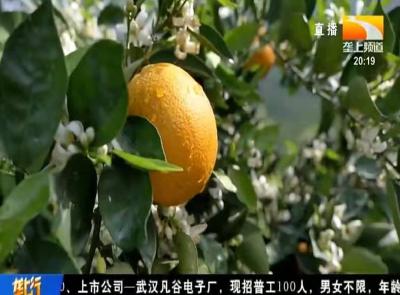脐橙落花落果的原因有哪些?