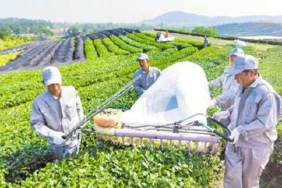 大悟茶产业引进18个合作项目