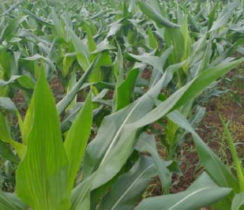 玉米花期的田间管理