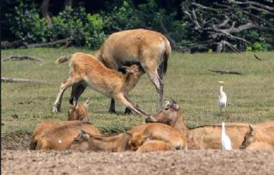 荆州石首形成全球最大野生麋鹿种群