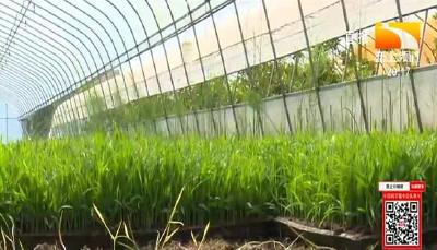 不同时期水稻叶尖发黄是什么原因造成?