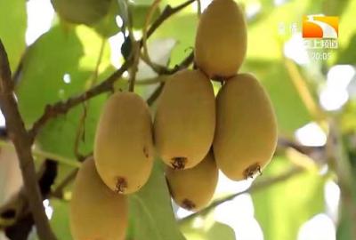 猕猴桃浸种水的温度多少度为宜?