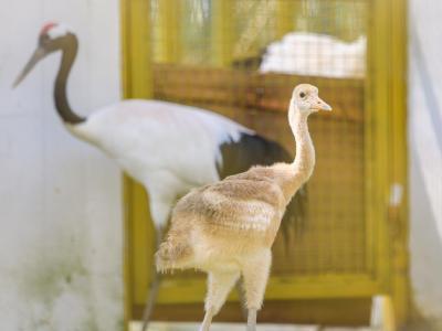 5只丹顶鹤宝宝降生武汉动物园