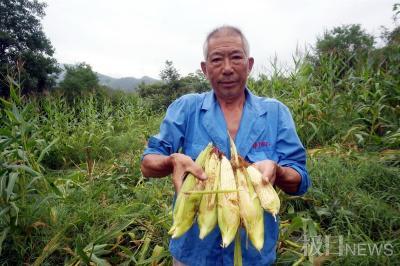 湖北十堰野猪成灾,一年糟蹋粮食数百万斤