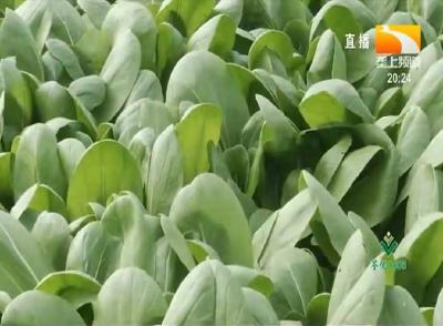 蔬菜越夏易出现虫害及病害,该如何防治