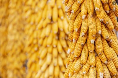 襄阳:7月主要农作物病虫害发生趋势及防治意见