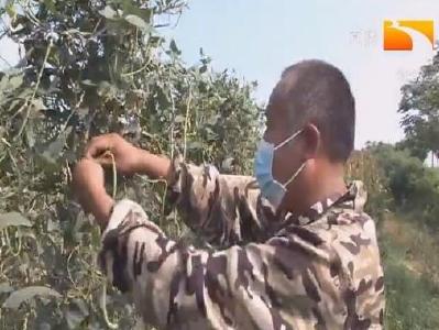 仙桃:近期病虫预报及在田作物管理