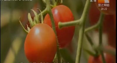 秋茬番茄常见9种病害防治攻略