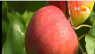 栽培技术   秋季苹果园如何修剪