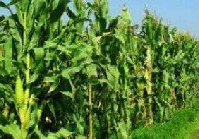 高温高湿致水稻玉米害虫激增 湖北紧急部署秋粮作物病虫防控