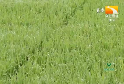 近期再生稻田间管理措施