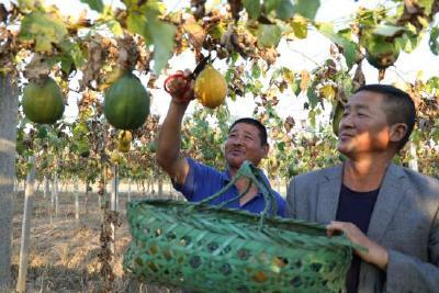 京山8000万资金扶持瓜蒌产业:一年四收,亩产过万