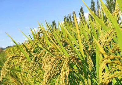 植物工厂实现水稻种植60天快速收获