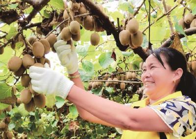 汉产猕猴桃喜迎丰收季 优选品种日益增多渐成主要外销货源