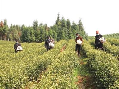 变卖厂房回乡种油茶8000亩 通城农民跟着龙头挣大钱