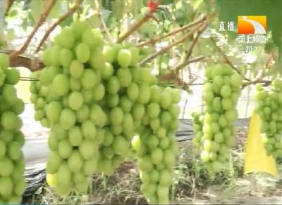 葡萄结果怎么修剪?