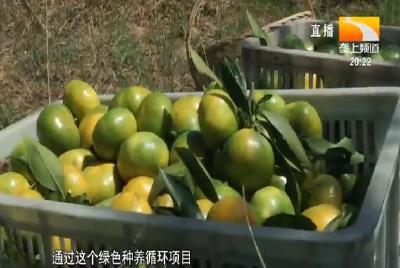 特早熟柑橘上市 皮薄汁多易化渣
