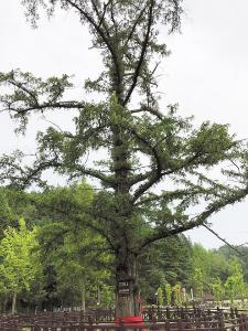 """对82万多株古树层层筛选 湖北有了""""十大最美古树"""""""