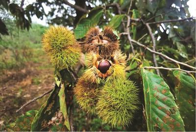 300年以上板栗树261株 随县板栗古树群让农户过上好日子