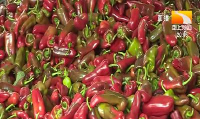 辣椒催芽一般需要几天?