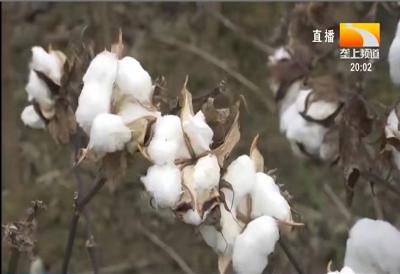 棉花的最佳播种时间
