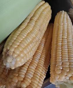 玉米结多穗是什么因素造成的?